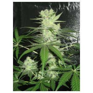Dr Underground King Kong Feminised cannabis seeds