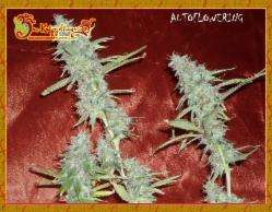 Dr Krippling Seeds Krippleberry Auto Feminised cannabis seeds