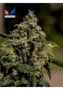 Positronic Seeds Lemon Trip Feminised cannabis seeds