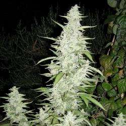 Female SeedsMaroc Feminised Seeds