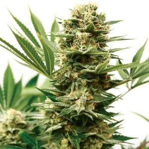 Garden Of Green Mass Shooter Auto Feminised cannabis seeds