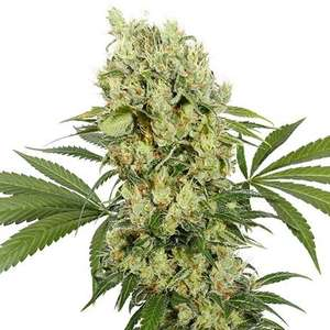 Buddha SeedsMedikit CBD Feminised Seeds