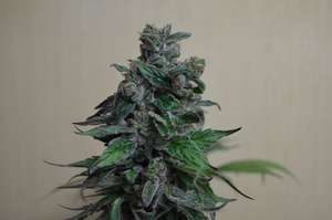 Kalashnikov Seeds Moscow Bluberry Feminised cannabis seeds