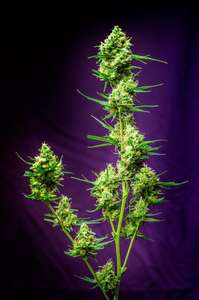 Homegrown Natural WondersNurse Jackie Regular Seeds