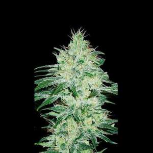 BlimBurn SeedsOrient Auto Feminised Seeds