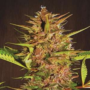 Ace SeedsPakistani Chitral Kush Feminised Seeds