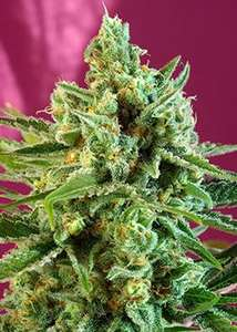 Sweet SeedsS.A.D. CBD Feminised Seeds
