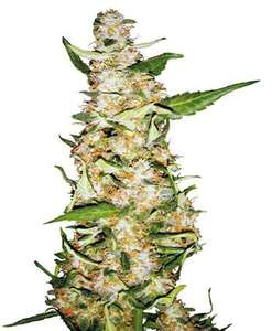 Sensi SeedsSkunk #1 Auto Feminised Seeds