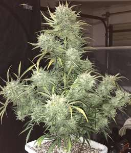 Phoenix SeedsStrong Stuff Auto Feminised Seeds