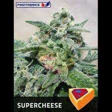 Positronic SeedsSupercheese Feminised Seeds