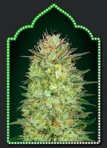00 SeedsSweet Critical Auto Feminised Seeds - 5
