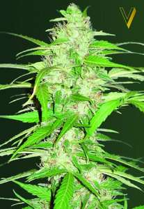 Victory SeedsUltra Power Plant Auto Feminised Seeds