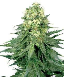 White Label Seed CompanyWhite Widow Feminised Seeds