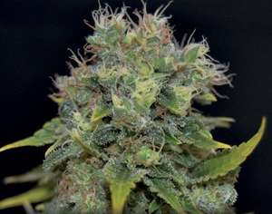 CBD SeedsYumbolt Auto Feminised Seeds