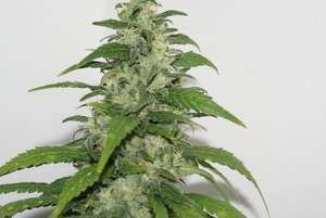 Resin SeedsYummy Feminised Seeds