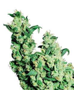 Jack Herer Feminised Seeds FAST