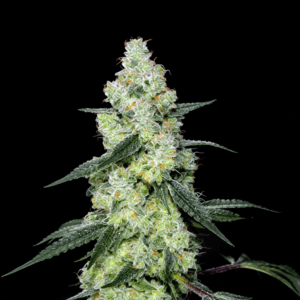 Lemon Dosi Regular Cannabis Seeds by Elev8 Seeds