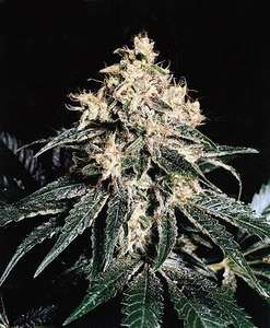 Mr Nice Seedbank Devil Regular cannabis seeds
