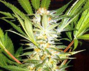 Kannabia SeedsWhite Domina Feminised Seeds