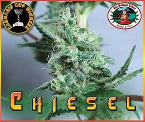 Big Buddha SeedsChiesel Feminised Seeds
