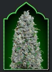 00 Seeds Afghan Mass XXL Auto Feminised cannabis seeds