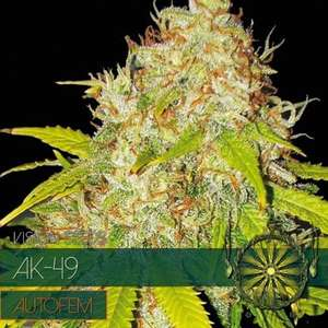 Vision Seeds AK - 49 Auto Feminised cannabis seeds