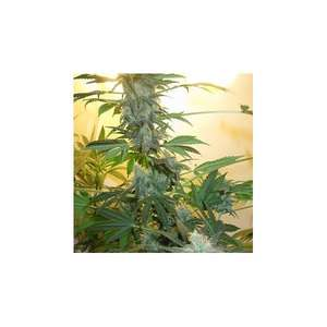Nirvana Seeds AK48 Feminised cannabis seeds