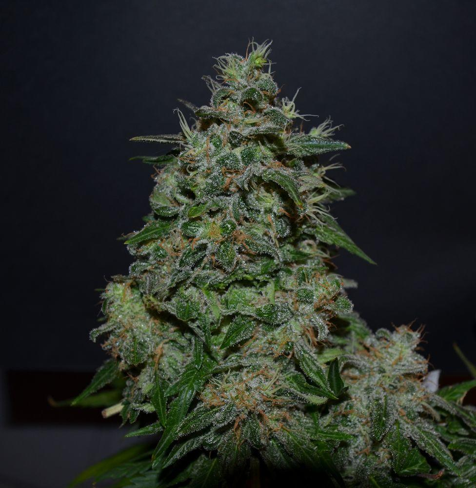 Kalashnikov Seeds AK Kush Express Feminised cannabis seeds