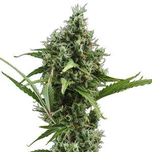 CBD SeedsAmnesia Auto Feminised Seeds