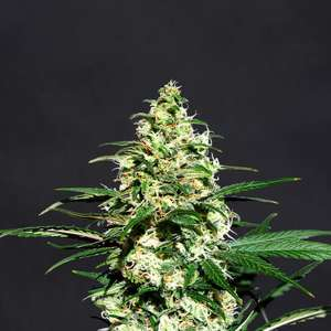 Kannabia SeedsAmnesi - K Lemon Feminised Seeds