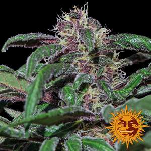 Barney's Farm Seeds Ayahuasca Purple Feminised cannabis seeds