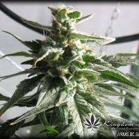 Reeferman BC Gold Regular  cannabis seeds
