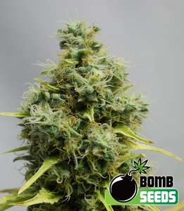 Bomb Seeds Big Bomb Feminised cannabis seeds