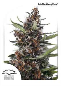 Dutch PassionBlackberry Kush Auto Feminised Seeds