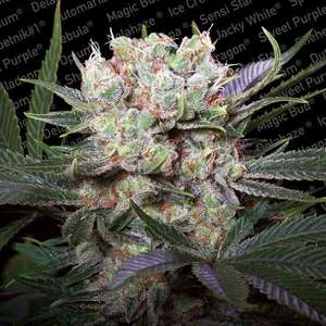 Paradise Seeds Californian Gold Feminised cannabis seeds