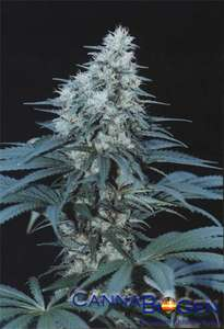 Cannabiogen Caribe Feminised cannabis seeds
