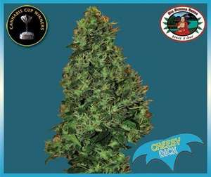 Big Buddha Seeds Cheesy Dick Feminised cannabis seeds
