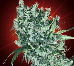 Kaliman Seeds Cheese Tease Regular cannabis seeds