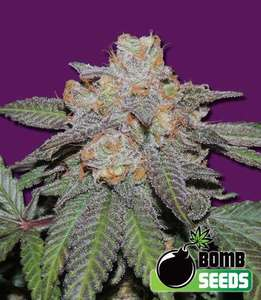 Bomb Seeds Cherry Bomb Auto Feminised cannabis seeds