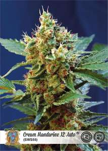 Sweet Seeds Cream Mandarine XL Auto Feminised cannabis seeds
