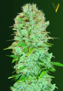 Victory SeedsCritical Feminised Seeds