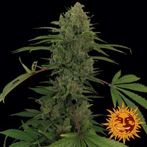 Barney's Farm Seeds Critical Kush Auto Feminised cannabis seeds