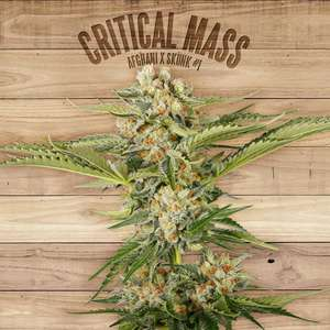The PlantCritical Mass Feminised Seeds
