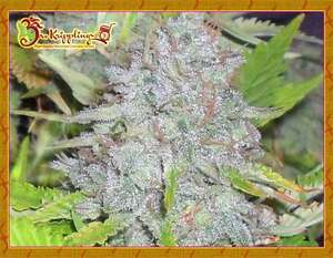 Dr Krippling SeedsDelhi Friend Feminised Seeds