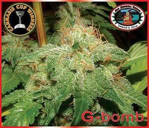 Big Buddha SeedsG - Bomb Feminised Seeds