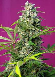 Sweet Seeds Gorilla Girl Feminised cannabis seeds