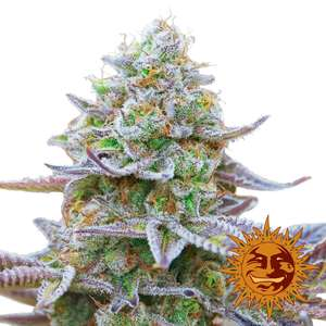 Barney's Farm Seeds Gorilla Zkittlez Feminised cannabis seeds