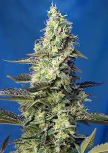 Sweet SeedsGreen Poison XL Auto Feminised Seeds