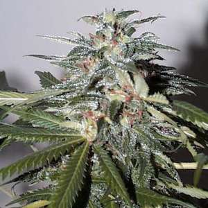 KC Brains KC 51 Auto Feminised cannabis seeds