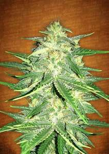 FastBuds Seeds Lemon AK Auto Feminised cannabis seeds